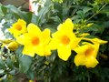 Alamanda flowers close ups on the tree Royalty Free Stock Photo