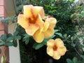 Alamanda orange flowers Royalty Free Stock Photo