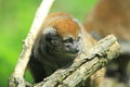 Alaotran bamboo lemur the behind the wood stub Stock Photography