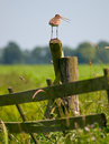 Alarming Black-tailed Godwit Stock Images