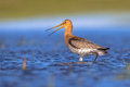 Alarming black tailed godwit shouting limosa limosa from shallow water of a wetland marshlands are used as layovers during Stock Images
