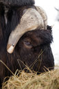 Alaska animal musk ox feeds on hay straw vertical composition a male gets his fill of feed Royalty Free Stock Photography