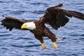 Aljaška plešatý orol lietanie nízky