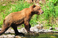 Alaska Brown Grizzly Bear Looking for Fish Stock Image