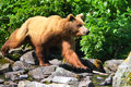 Alaska Brown Grizzly Bear On the Move Royalty Free Stock Photo
