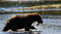 Alaska Brown Grizzly Bear Silhouette with Salmon Royalty Free Stock Photo
