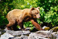 Alaska Brown Grizzly Bear Walking Royalty Free Stock Images