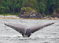 Alaska Humpback Tail Fluke 2 Royalty Free Stock Image