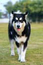 Alaska malamute dog  Stock Images