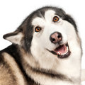 Alaska Malamute dog Stock Photos