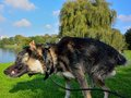 Alaska-malamute playing and relaxing Royalty Free Stock Photo