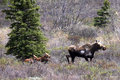 Alaska Moose and Babies in Denali National Park Royalty Free Stock Photo