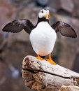 Alaska - Sea Life Center Horned Puffin Wings Up Royalty Free Stock Photo