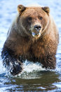 Alaska silver salmon creek brown bear powerful claws a female grizzly shows her massive sharp while fishing in the waters of in Stock Images