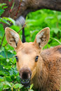 Alaska Young Moose Calf Feeding Royalty Free Stock Photo