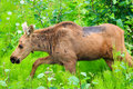 Alaska Young Moose Calf Walking Royalty Free Stock Image