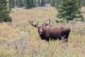 Alaska Yukon Bull Moose in Velvet Royalty Free Stock Photo