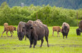 Alaskan bison group of bisons on a green grass Royalty Free Stock Images