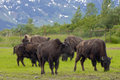 Alaskan bisons group of grazing on green grass Stock Images