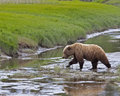 Alaskan brown bear crossing creek Royalty Free Stock Photo
