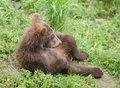 Alaskan brown bear cub Royalty Free Stock Photos