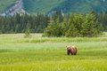 Alaskan brown bear single adult coastal grazing in grassy meadow Royalty Free Stock Photography