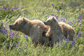 Alaskan brown bears adult female coastal bear standing in meadow with young cub surrounded by wild blue lupine Royalty Free Stock Photos