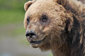 Alaskan coastal brown bear close up of head of larger adult Stock Image