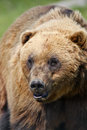 Alaskan coastal brown bear close up of head of larger adult Stock Photo