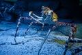 Alaskan crab specimen in underwater tank big Stock Image