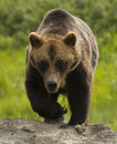 Alaskan Grizzly Bear Stock Photo