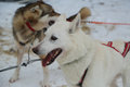 Alaskan husky at Musher Camp in Finnish Lapland Royalty Free Stock Photo