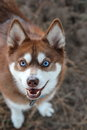 Alaskan klee kai delightfully looking up for a treat Royalty Free Stock Photos