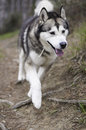 Alaskan malamute male of walking out of the forest Royalty Free Stock Photo