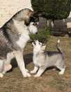 Alaskan malamute parent with puppy playing on the garden Royalty Free Stock Image