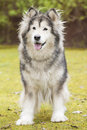 Alaskan malamute in a park dog outdoors nature Stock Photography