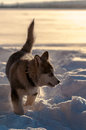 Alaskan malamute playing in the snow on a coverd lake sweden Stock Images