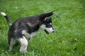 Alaskan malamute puppy chasing a fly on the grass Stock Image