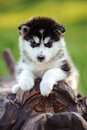 Alaskan malamute puppy cute of dog in summer Royalty Free Stock Image