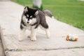Alaskan malamute puppy cute in a park Stock Photo