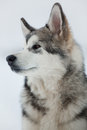 Alaskan malamute puppy looking off into the distance Royalty Free Stock Photos
