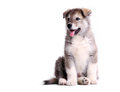 Alaskan malamute puppy over white Royalty Free Stock Photo