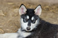 Alaskan malamute puppy portrait in the kennel Royalty Free Stock Photo