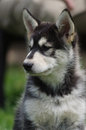 Alaskan malamute puppy portrait wistful glance Stock Photography