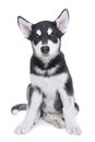 Alaskan Malamute Puppy on White Background in Studio Royalty Free Stock Photo