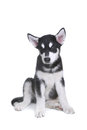 Alaskan Malamute Puppy on White Background in Studio Stock Image