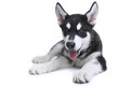 Alaskan Malamute Puppy on White Background in Studio Royalty Free Stock Photos