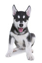 Alaskan Malamute Puppy on White Background in Studio Stock Photography