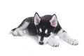 Alaskan Malamute Puppy on White Background in Studio Stock Photos