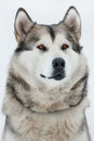 Alaskan Malamute sitting and looking into the distance Stock Images